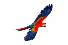 Scarlet Macaw Parrot Isolated ...