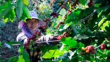 Portrait Of Asia Women Picking Coffee In The Plant