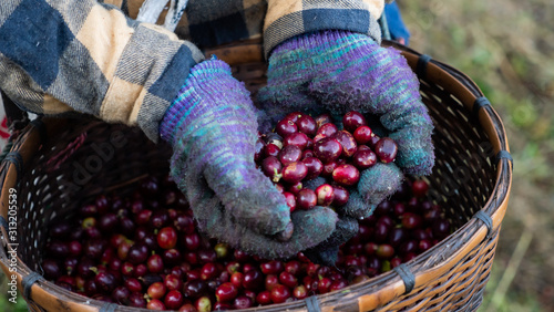 Photo Close up hand holding coffee berry in the plant