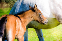 Young Foal Grazing With His Mother