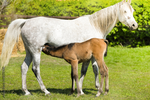 Foto young foal grazing with his mother