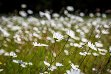 A Meadow Of Daisies In The Sum...