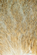 Close-up Of The Fluffy Fur Of ...