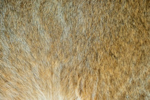 Close-up Of The Fluffy Fur Of A 4 Month Old Lion Cub (Panthera Leo)