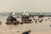Group Of Pelicans On The Beach With Seagulls Preening Their Feathers