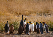 A Colony Of King Penguins, Apt...