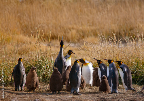 A colony of King Penguins, Aptenodytes patagonicus, resting in the grass at Parque Pinguino Rey, Tierra del Fuego Patagonia Canvas Print