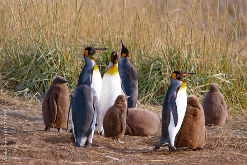 Photo A colony of King Penguins, Aptenodytes patagonicus, resting in the grass at Parque Pinguino Rey, Tierra del Fuego Patagonia