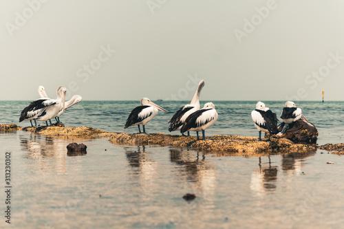 Photo pelicans preening on the beach accidental renaissance