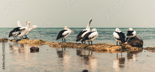 pelicans preening on the beach accidental renaissance Canvas Print