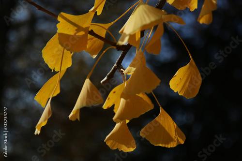 Fotografija  Foglia di Gingko biloba in autunno