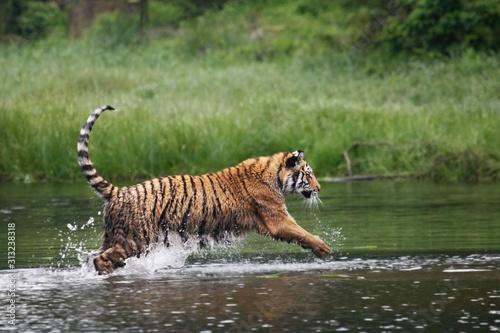 Photo The Siberian tiger (Panthera tigris Tigris), or  Amur tiger (Panthera tigris altaica) in the forest walking in a water