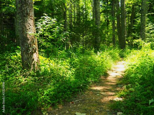 Dappled Sunlight Forest Pathway