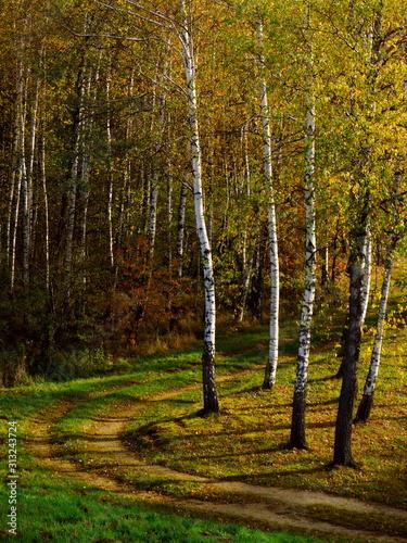 Jesienna dróżka, ścieżka w lesie, brzozy jesienią - 313243724