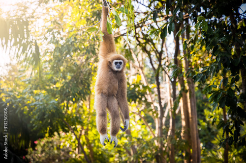 Fotomural Adult white-handed gibbon hanging on a tree in forest park.