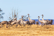 Flock Of Cranes On A Field In Spring