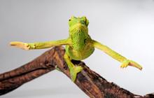 Female Jackson's Chameleon / W...