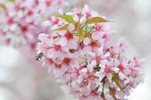 Wild Himalayan Cherry Or Prunus Cerasoides