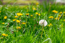 Dandelions And Other Weeds Amo...