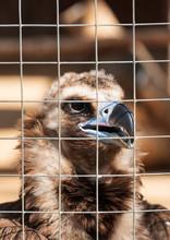 Bird Of Prey Vulture In A Cage