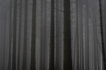 dark and bare trees in a foggy atmosphere