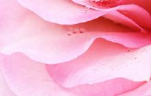 Petals Of Pink Rose Flower