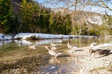 Greylag Geese Participating In The Studies Of The Konrad Lorenz Forschungsstelle (KLF) Taking A Bath In The Alm River Near Grünau, Upper Austria