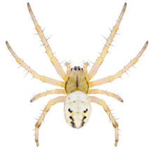 The Neoscona Adianta Is A Species Of Orb Weaver In The Spider Family Araneidae. Dorsal View Of Orb Weaver Spider Neoscona Adianta Isolated On White Background.