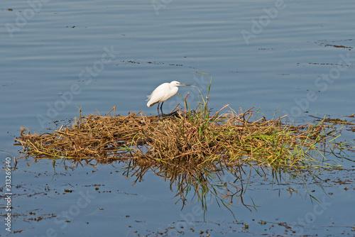 Little egret stood on reeds in water of river marshland Fototapeta