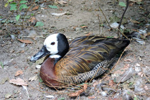 A White-faced Whistling Duck L...