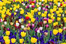 Many Mixed Vivid Yellow, White, Red And Pink Tulips And Blue Pansies In Full Bloom In A Sunny Spring Garden, Beautiful Multi Colored Outdoor Floral Background