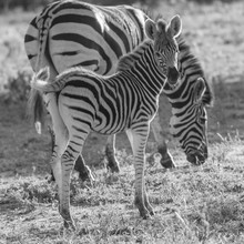 Zebra Foal Glancing Over Its S...