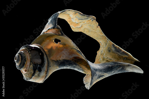 Photo Broken conch shell closeup black background studio shot