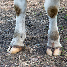 White Front Hooves Of A Dairy ...