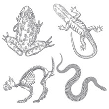 Magic Animal Elements Set. Hand Drawn Sketch For Magician Collection. Witchcraft Spell Symbols, Cat Skeleton, Reptile Frog, Toad, Lizard And Snake. Vector.