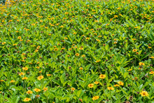Field Of Yellow Flowers With Green Petals In Israel