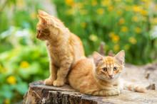 Wild Ginger Kittens Are Restin...