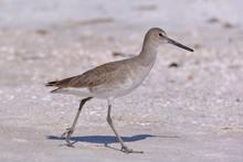 Strandläufer (Vogel) An Der G...