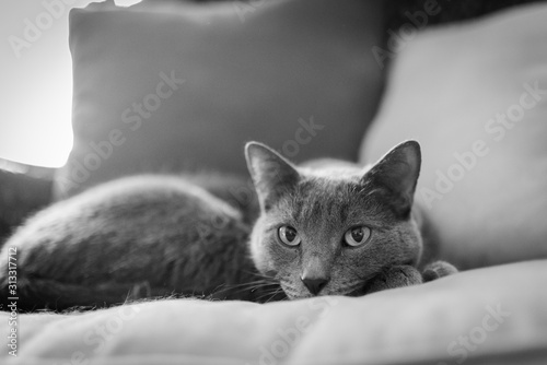 Black and white of a Russian Blue cat looking at you while laying down
