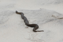 A Poisonous Viper On The Sand