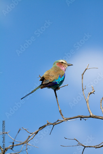 Photo Lilac-Breasted Roller