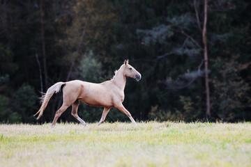Obraz na płótnie Canvas horse run on a field on a forest background
