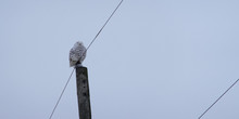 Snowy Owl On A Cloudy Day