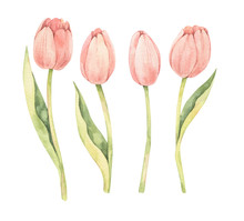 Watercolor Botanical Illustration. Happy Easter! Spring Tulip. Pink Flowers Collection. Perfect For Invitations, Greeting Cards, Blog, Posters