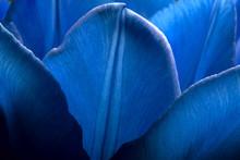 Tulips Of Deep Dark Blue Color...