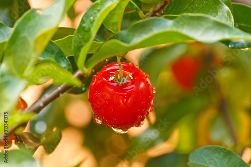 Acerola cherry barbados cherry with water droplets Canvas Print