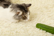 cat plays with cucumber