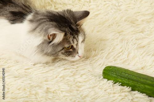 Obraz cat plays with cucumber - fototapety do salonu