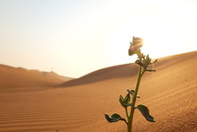 A Silhouette Of A Growing Plant On A Hot And Dry Desert Land Showing Spring Season, Hope And New Life Concept