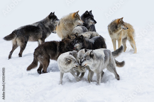 Photo Wolf pack in winter